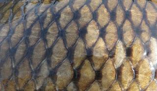 Common Carp Skin