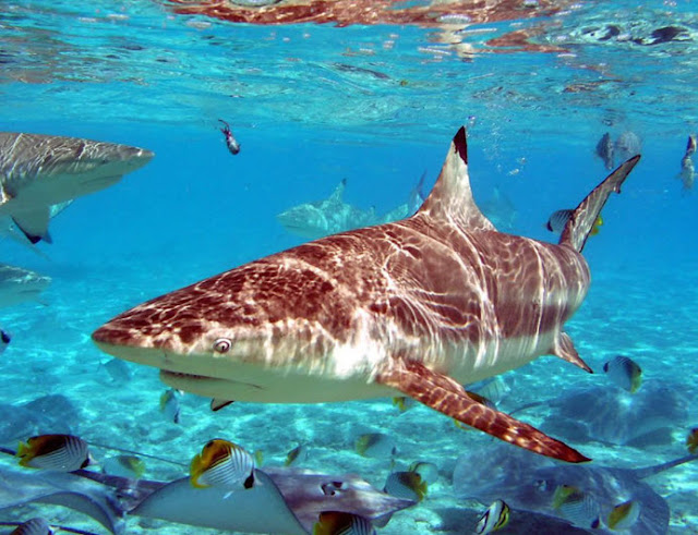 biggest animals kingdom and in the world tiger shark the tiger shark    Biggest Tiger Shark In The World