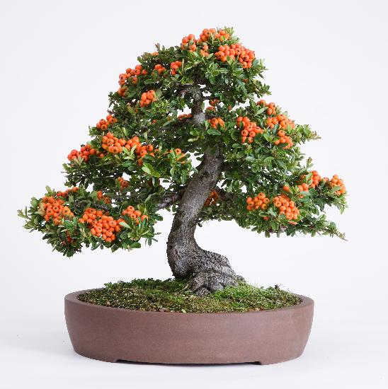 Cantinho do bonsai - Como cuidar bonsais ...