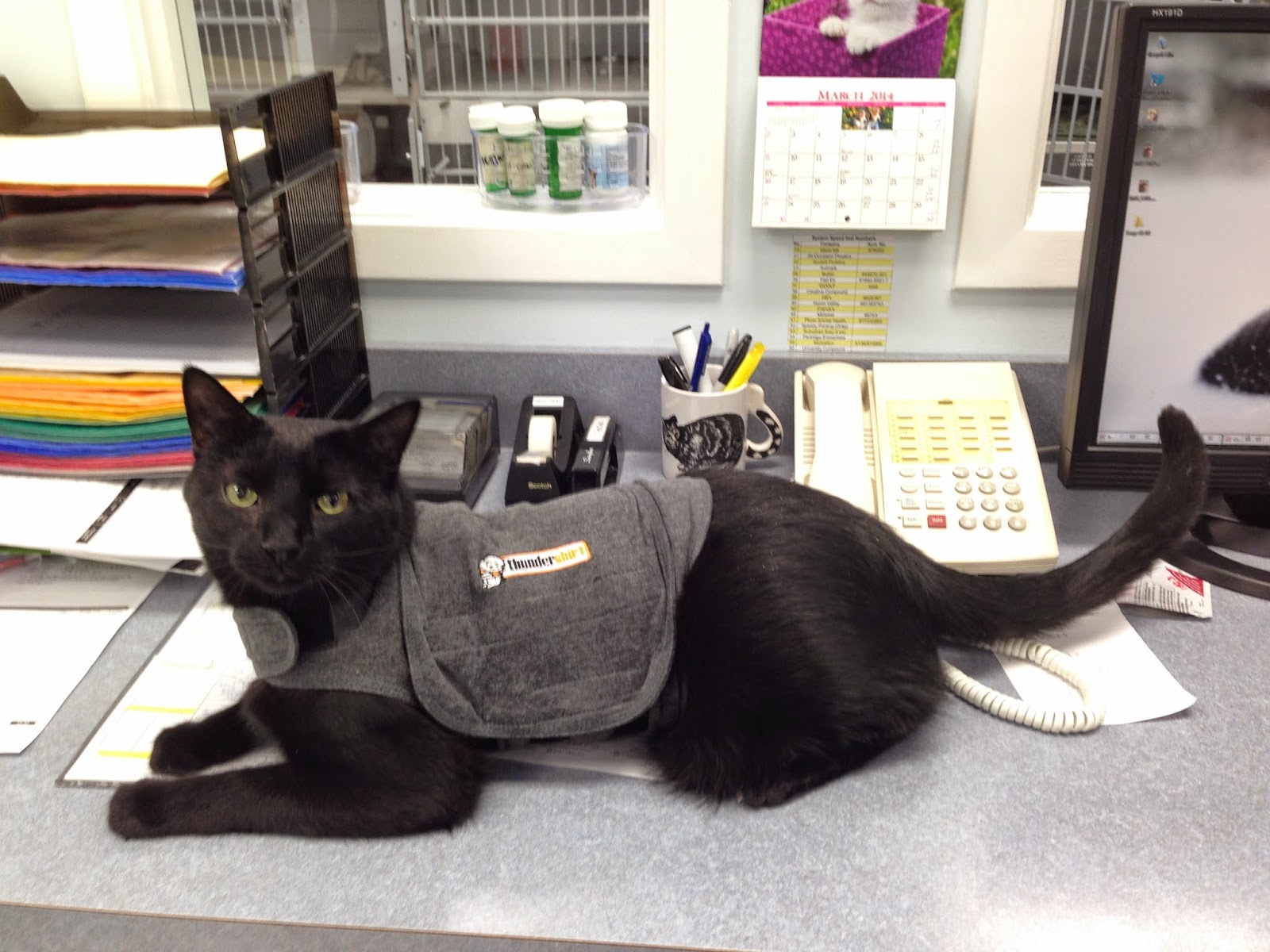Black cat in Thundershirt   Exclusively Cats Veterinary Hospital Waterford, MI