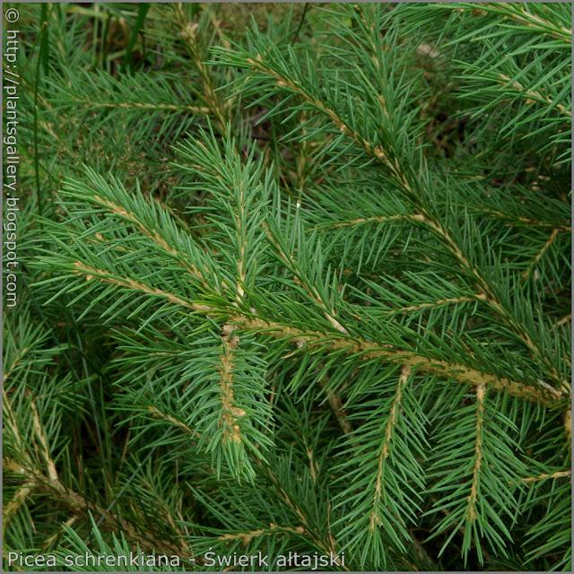 Picea schrenkiana needles - Świerk ałtajski igły