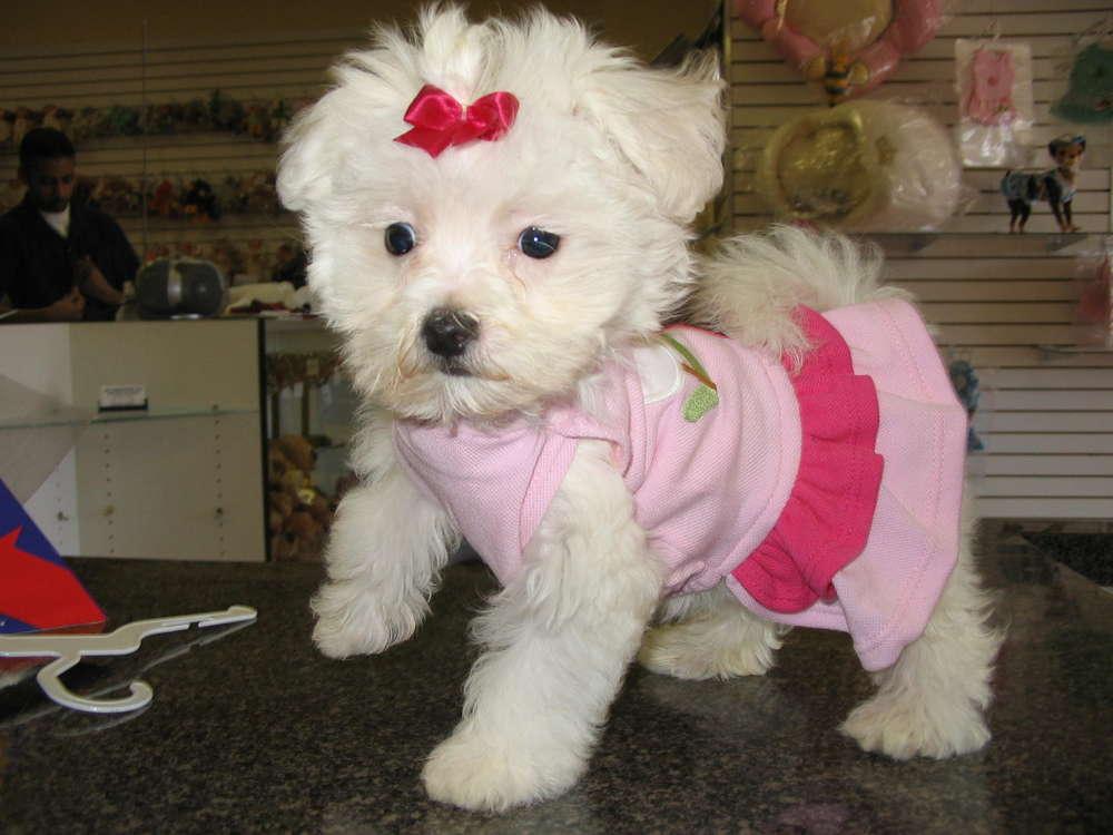cute puppy dogs  cute maltese puppy