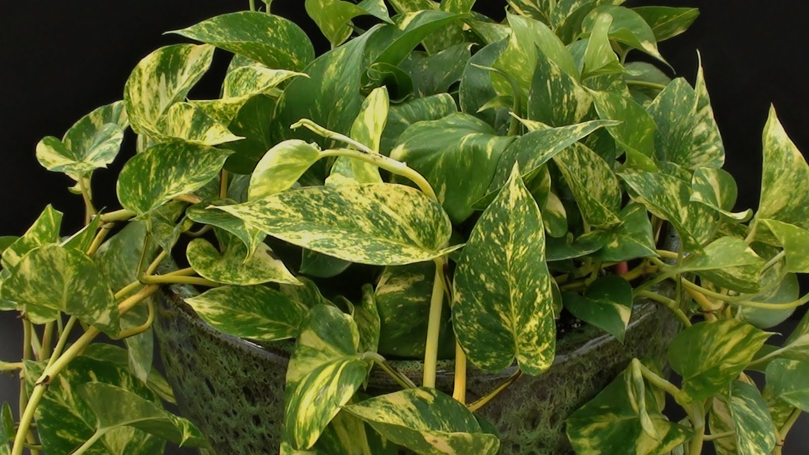 Grorite greenhouses easy to care for house plant for Easy maintenance house plants