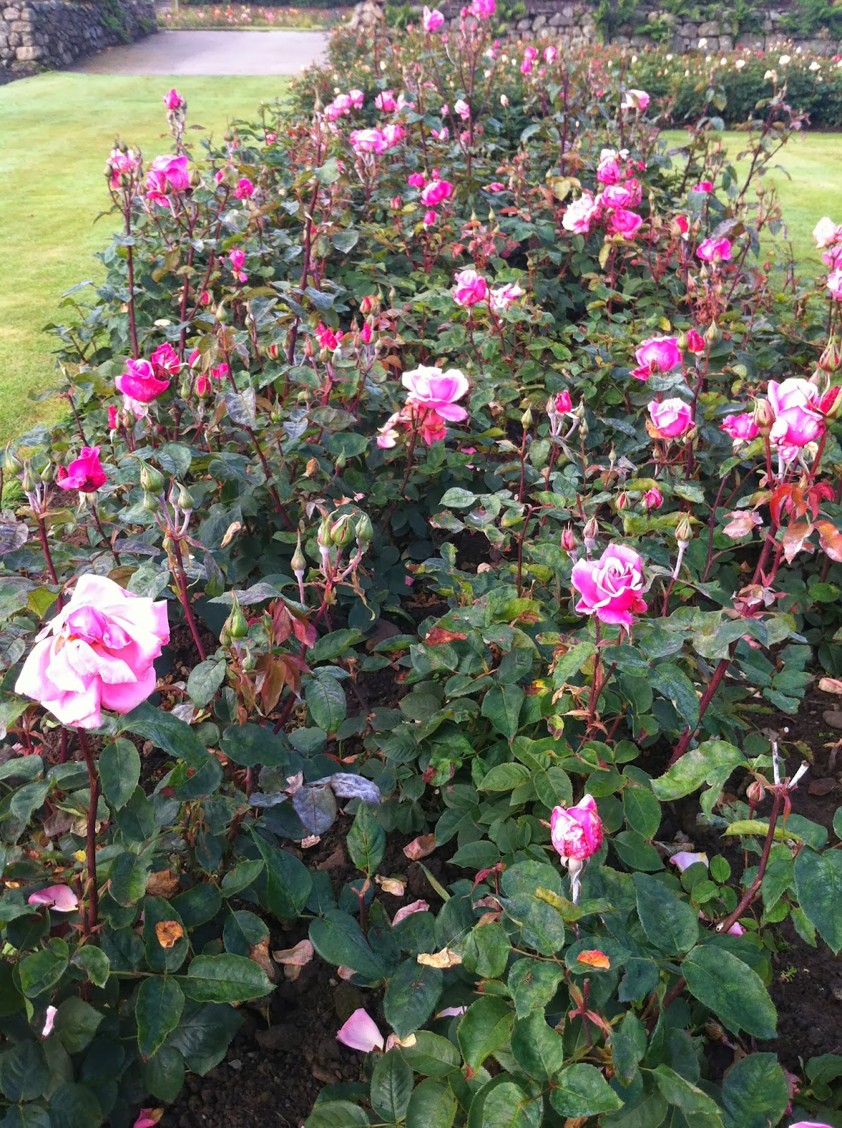 The Aberdeen Wife I Never Promised You A Rose Garden