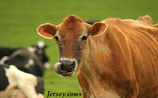 Taking Care of Jersey Cows