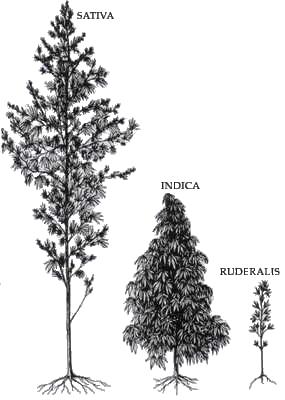 tipos de Cannabis - semillas de cannabis