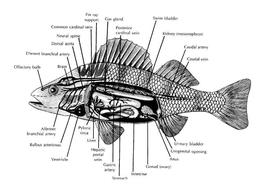 design context  fish anatomy