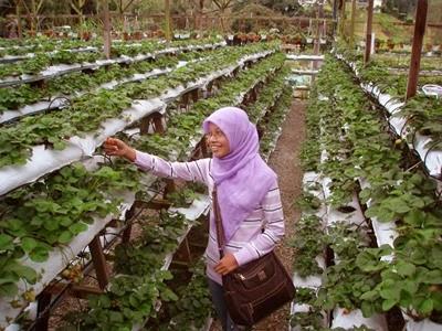 a-strawberry+farm.jpg
