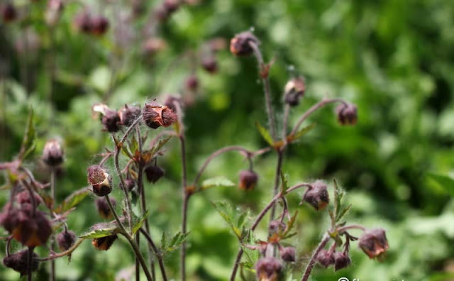 Geum Rivale Flowers Pictures