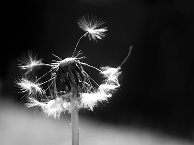 ardent photography dandilion