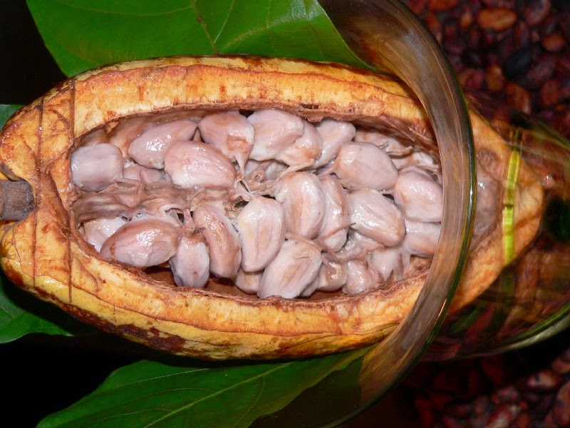 Do You Know What Your Favorite Foods Look Like While Growing - The incredible Cacao fruit grows on trees and takes approximately five years to produce