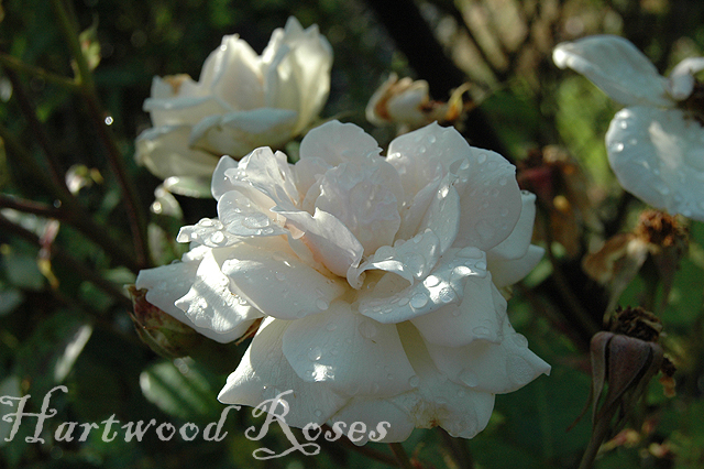 Hartwood Roses: White Roses on Wednesday