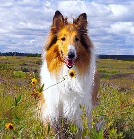 Lassie Dog Breed Short Haired