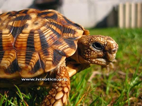 Serrated tortoise