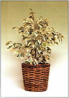 Фикус Бенджамина «Звездный свет» (Ficus benjamina «Starlight») — замечательное комнатное растение с яркими пустыми листьями.