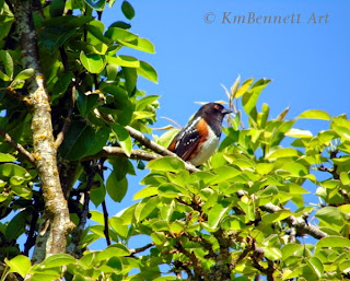 Spotted towhee 02
