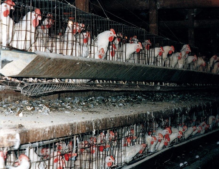 Producción industrial de huevos. Explotación intensiva en condiciones crueles y anti-naturales.