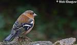 North Antrim Birds