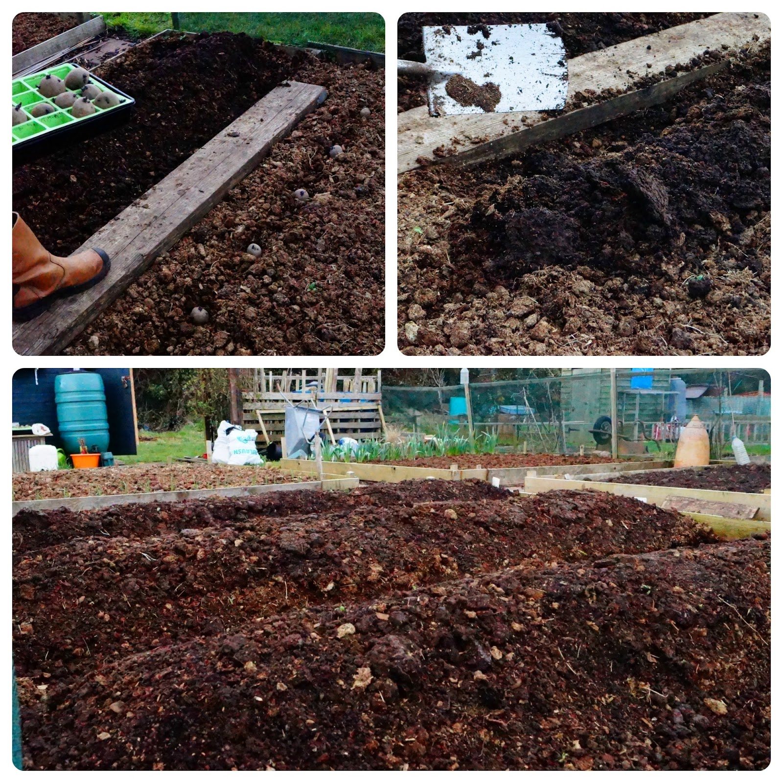 planting spuds- 'growourown.blogspot.com' - Allotment Blog