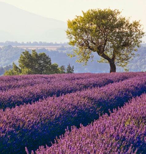 http://1.bp.blogspot.com/-sFTaRAQZ2X4/U9F2g1OH6XI/AAAAAAAAaZk/3TEiAlv8mo4/s1600/lavender_fields.jpg