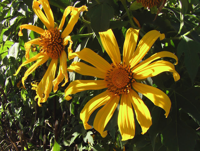 staudengarten gross potrems mexikanische sonnenblume. Black Bedroom Furniture Sets. Home Design Ideas