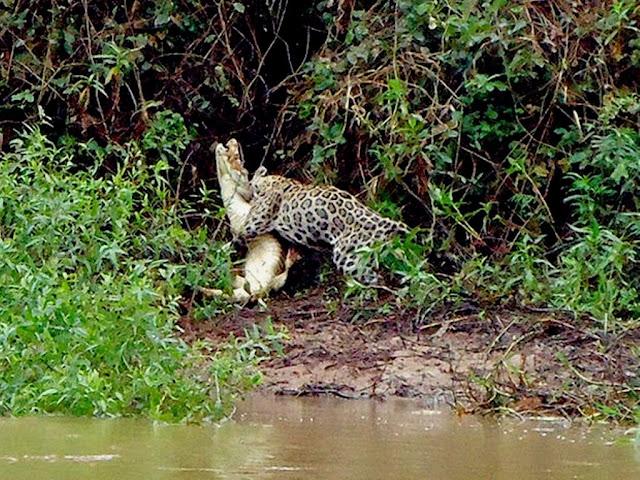 No Pantanal uma onça pintada atacando e matando um jacaré - foto de Juliano Macedo/ VC no G1