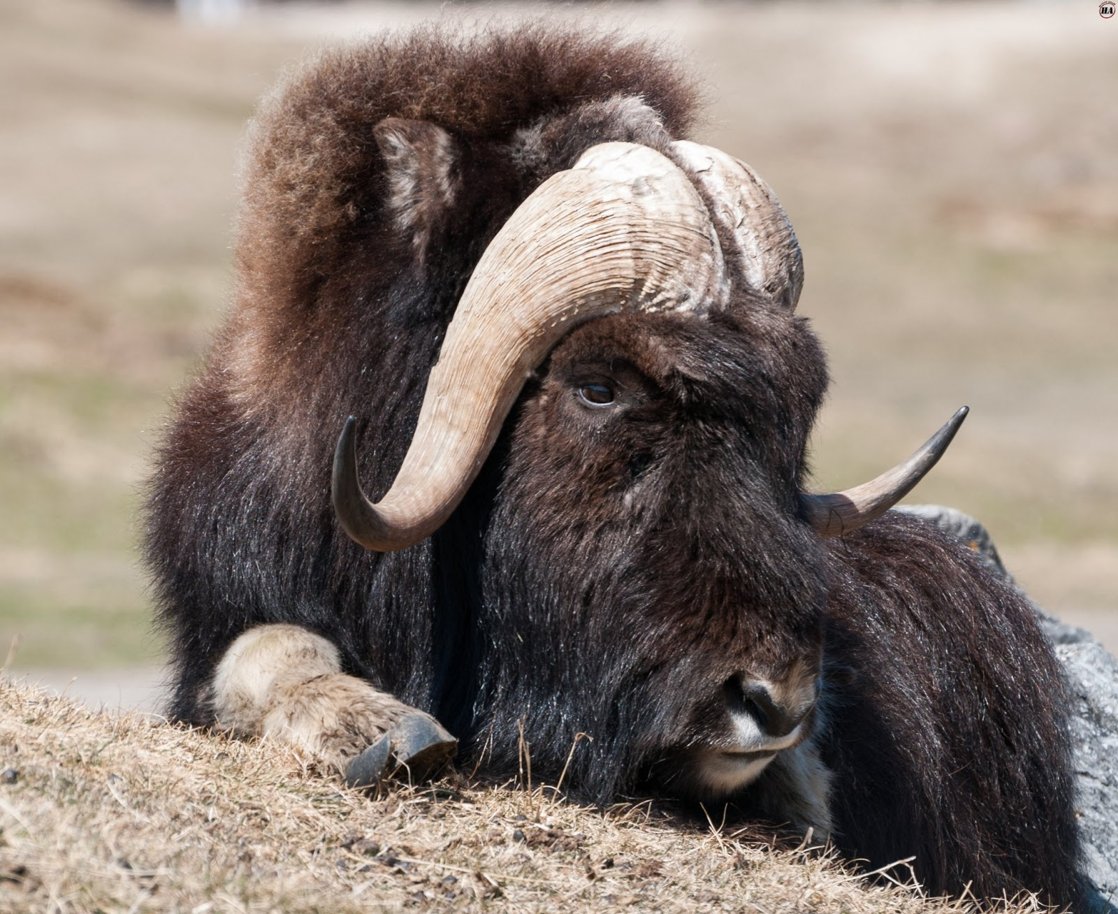 The Muskox   Amazing Creature Facts & Photographs   The ...