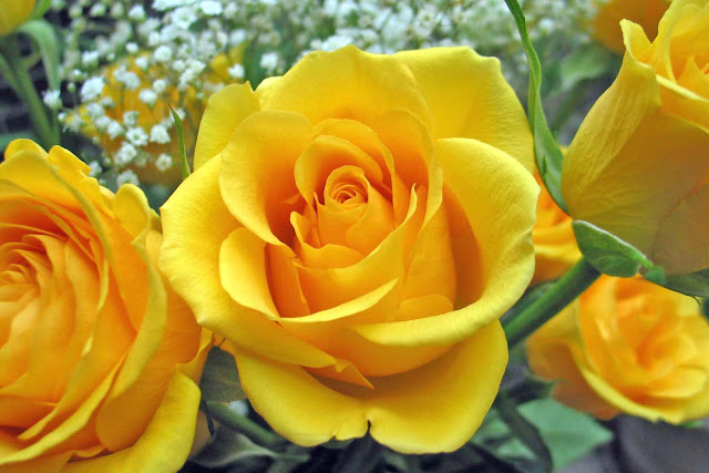 Beautiful Yellow Roses Flowers Collections 28