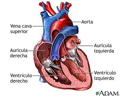 Ciencias Naturais en 2ºESO: Partes e funcionamento do corazón dos ...