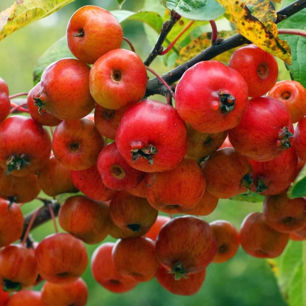 Estilo y hogar rboles frutales para el jard n for Tipos de viveros frutales