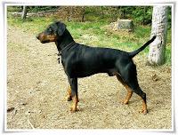 German Pinscher Animal Pictures