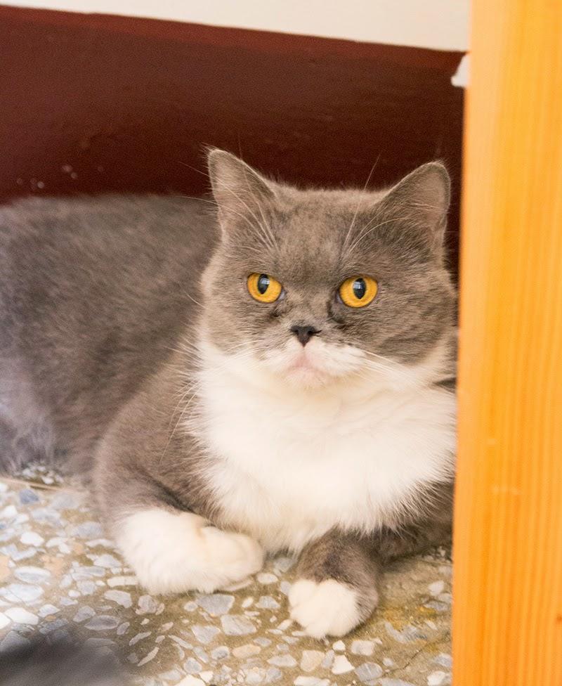 待送養貓咪- 小灰,帥氣的臉龐下有著愛玩但害羞的個性