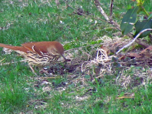 brown thrasher checking out the lawn
