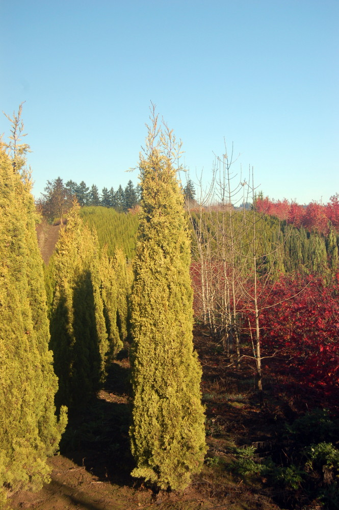 Add A Little Sunshine To Your Landscapes From Cascadian Nurseries Plant Notes