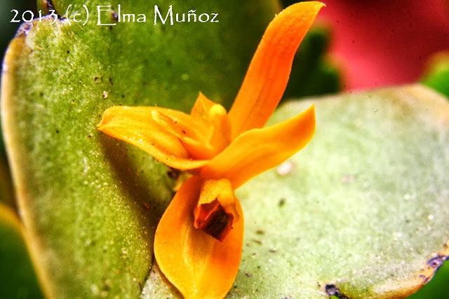 Pleurothallis luteola. Orquideas peruanas