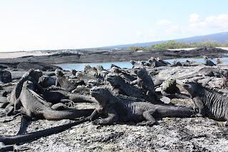 Marine Iguanas Basking in Fernandina Sunshine
