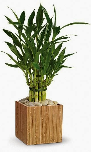 two tiered tower lucky bamboo