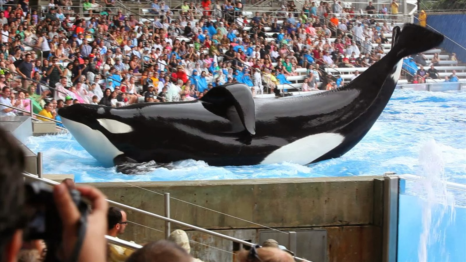 killer whale captivity While killer whales are today seen as sentient and intelligent creatures which are in need of conservation this has not always been the case.