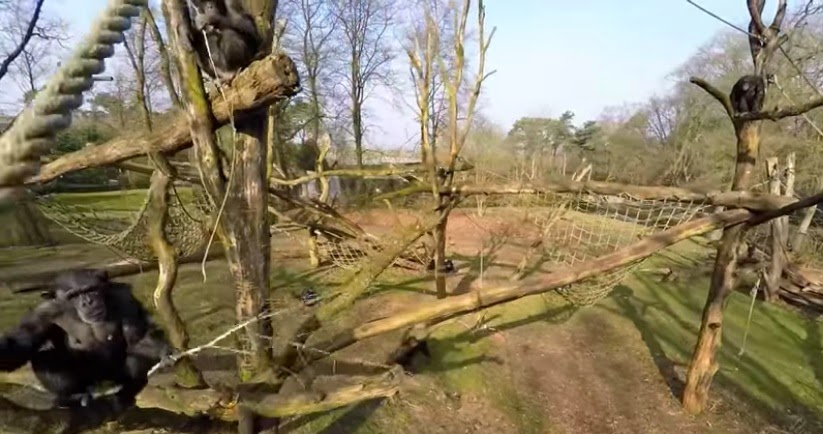 The chimpanzee holding a stick ready to knock down the drone. (Screenshot from the video)