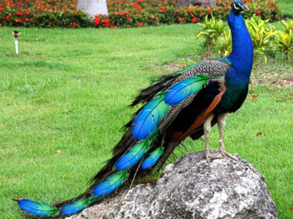 information about peacock bird Peacock is a beautiful bird that is found residing only in some of the asian countries with this article, get some amazing information and interesting facts on peacocks.