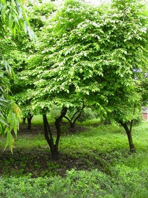 grow a star fruit tree, Beautiful flower