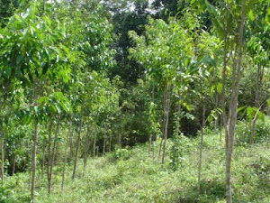 Ladang Gaharu Niena's Aquilaria