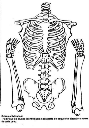 Plano de aula sobre o esqueleto humano espa o educar for O osso esterno e dividido em