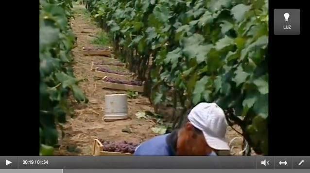 http://globotv.globo.com/rpc/parana-tv-2a-edicao-maringa/v/colheita-de-uva-em-rosario-do-ivai-comeca-mais-cedo-esse-ano/2296752/