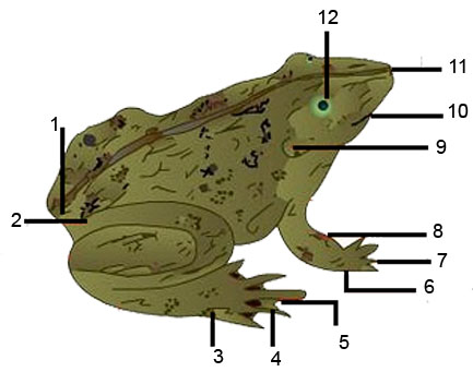 External Anatomy of Frogs