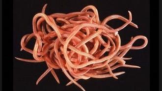 Cacing Kremi (Enterobiasis)