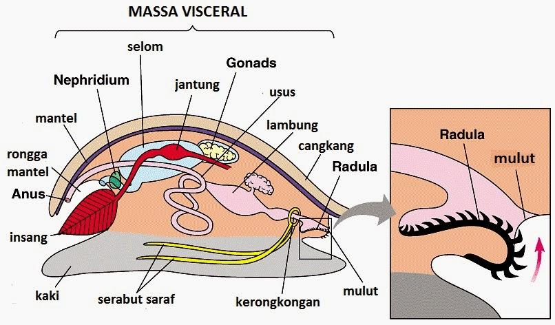struktur tubuh moluska