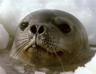 Cabeza de la foca