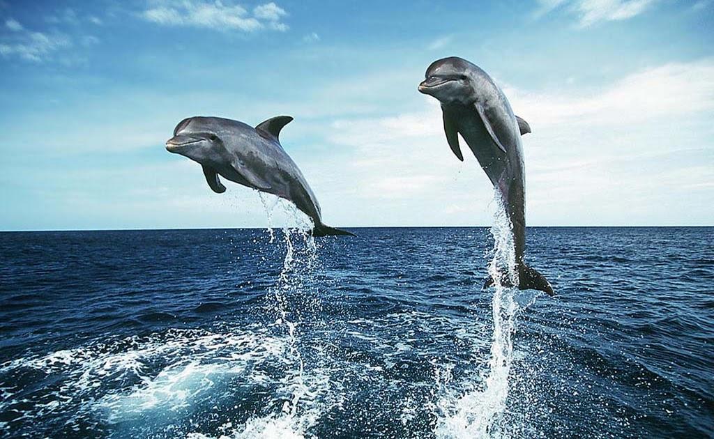 bottlenose dolphin wallpaper dolphins - photo #38