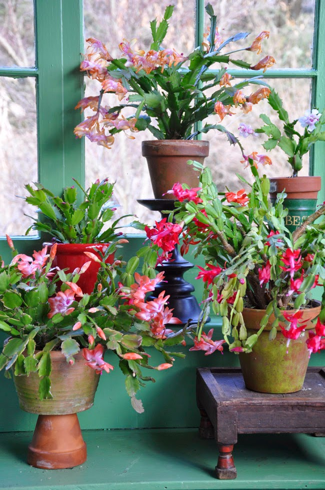 Growing with plants: THE CHRISTMAS CACTUS AND ITS LITTLE SECRET ...